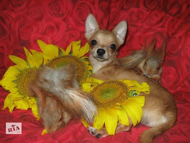 продам Продаются очаровательные щенки чихуахуа бу в Днепре (Днепропетровске)