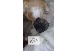 Продаются пекинеси щенки!
