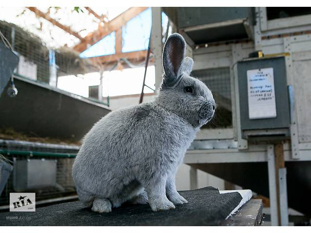 Продаются племенные кролики породы Большое Светлое Серебро (БСС)- объявление о продаже  в Павлограде