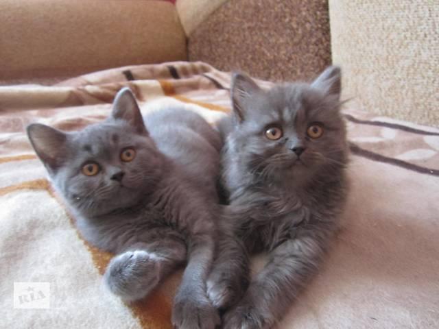 купить бу Продаються племенные шотландские котята с родословной в Киеве