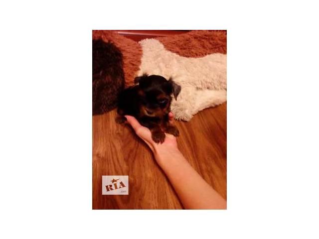 Продаются прелестные щенки йоркширского терьера - объявление о продаже  в Виннице