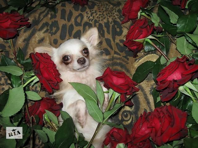 купить бу Продаются щенки чихуахуа в Днепре (Днепропетровск)