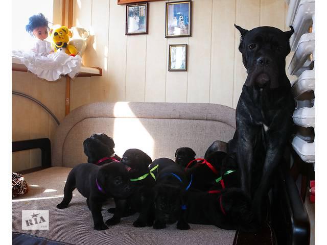 бу Продаются щенки кане-корсо в Одессе