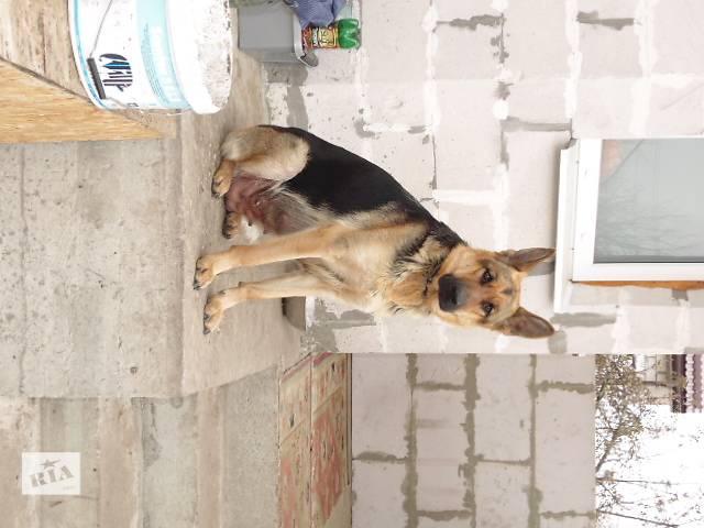 продам Продаются щенки немецкой овчарки бу в Житомире