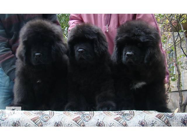 продам Продаются щенки породы ньюфаундленд  бу в Киеве