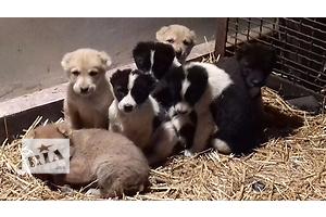 Продаются щенки САО от рабочих родителей с родословной,