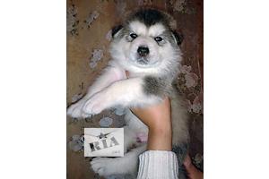 Продаются щеночки Аляскинского Маламута