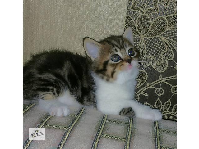 купить бу Продаются шикарные шотландские мраморные котята в Червонограде