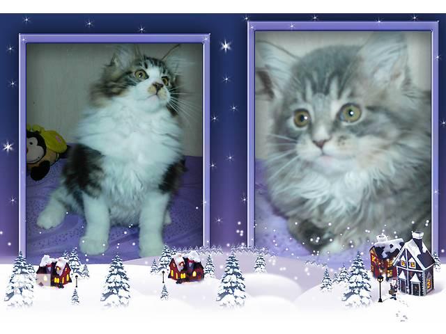 купить бу Продаются шикарные котята Мейн-кунчики. в Днепре (Днепропетровске)