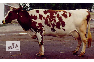 Продаются стельные корова и телка
