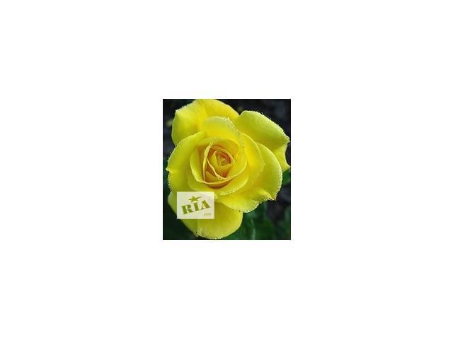продам продаются розы оптом бу в Сокирянах