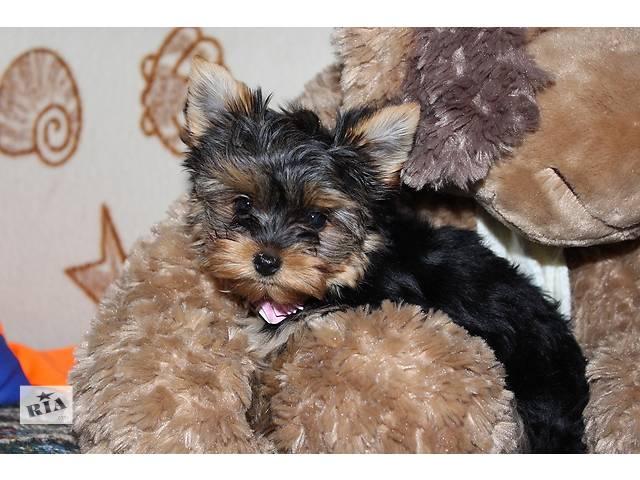 бу Продаются три щенка девочек Йоркширского терьера! в Днепре (Днепропетровск)