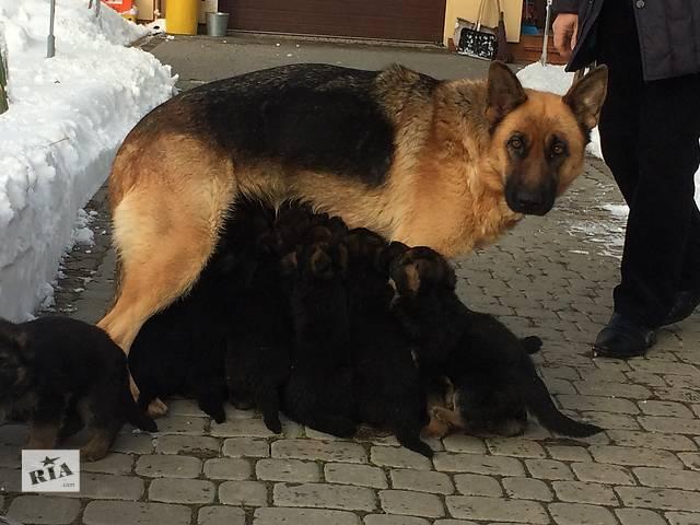 купить бу Продаются щенки Немецкой Овчарки в Ивано-Франковске