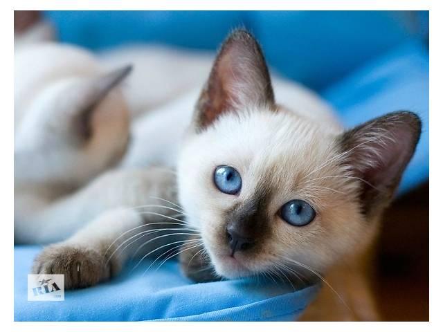 купить бу Продаются очаровательные тайские (старо сиамские) котята в Симферополе