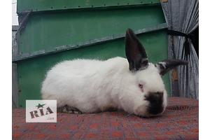 Продаж кроликів Каліфорнійської породи