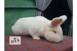 Продаж кроликів породи Новозеландський білий