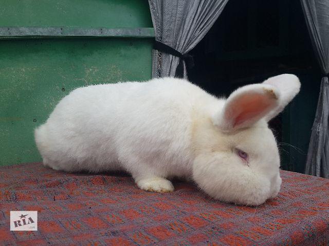 бу Продаж кроликів породи Новозеландський білий в Белой Церкви