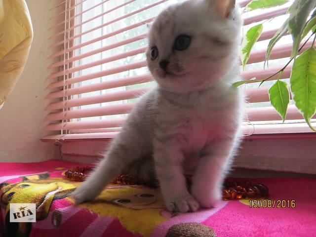 купить бу Продажа элитных клубных котят .Окрас серебристая шиншилла .Запорожье -Хортицкий район. в Запорожье