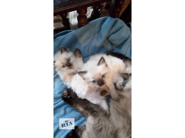 бу продажа котят породы рэгдолл в Киеве