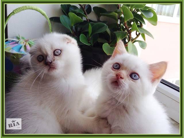 бу продажа шотландских котят в Ивано-Франковске
