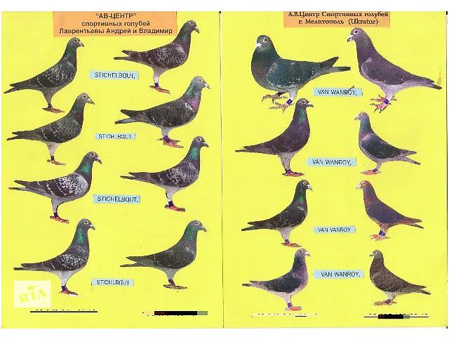 продам Продажа спортивных голубей бу в Мелитополе