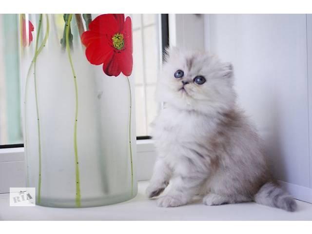 бу Продажа персидских котят в Киеве