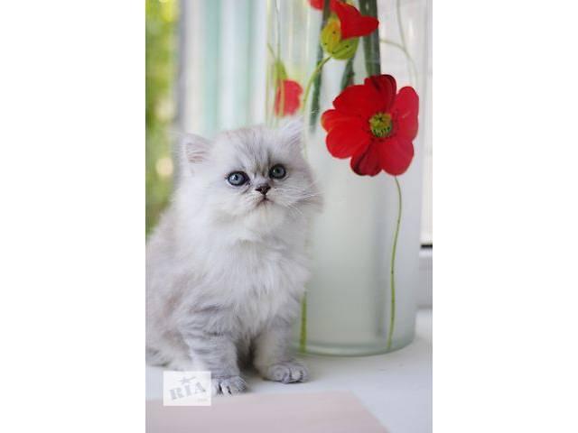 продам Продажа персидских котят бу в Киеве