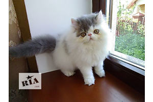 Котята персидские на продажу. Питомник Шарм Биколор Кэтс