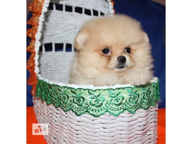 продам Профессиональный Питомник Померанских Шпицов предлагает щенков! бу в Днепре (Днепропетровск)
