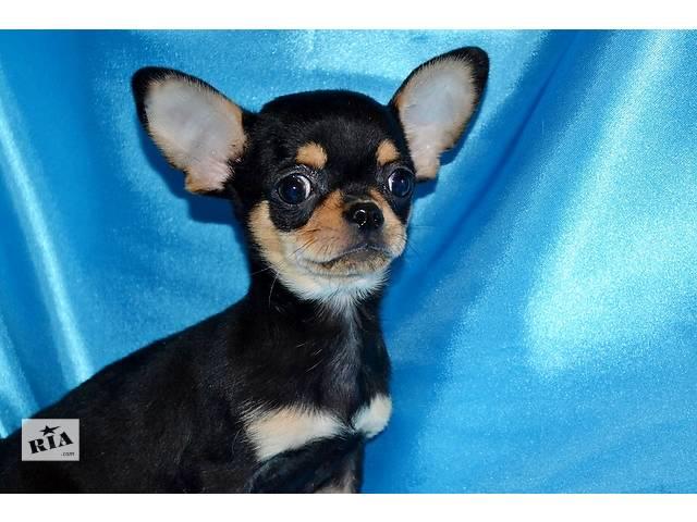 купить бу Професиональный питомник предлагает щенков Чихуахуа разных окрасов! в Днепре (Днепропетровск)