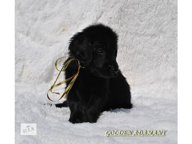 Прямошерстный ретривер щенки.Беларусь- объявление о продаже  в Чернигове