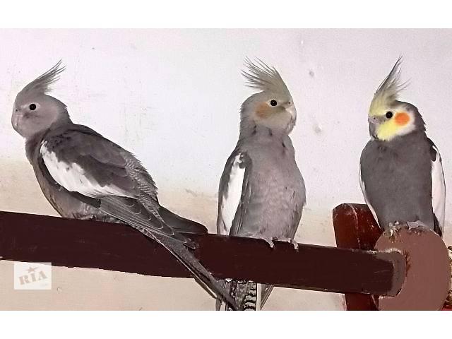 продам Птенцы попугаев корелла. Домашнего выведения. бу в Шостке