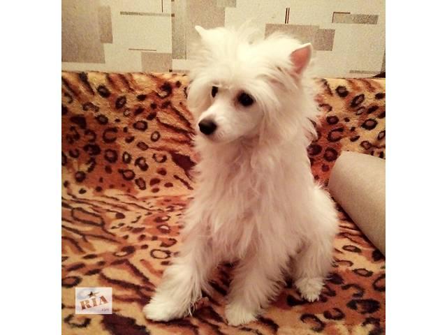 Мега активный и любвеобильный щенок КХС ждет своих маму и папу!- объявление о продаже  в Киеве