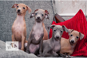 Puppi Piccolo Levriero Italiano (ItalianGreyhound)