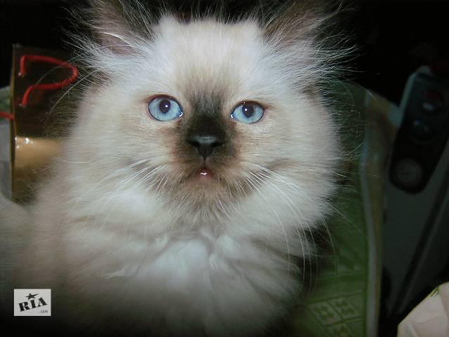 продам Пушистые котятки персидские колорпойнты бу в Киеве