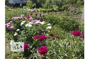 продам Комнатные растения, рассада и цветы в Днепропетровске (Днепре) бу Васильков