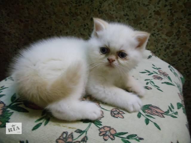 Питомник  предлагает котят, с документами клуба- объявление о продаже  в Кропивницком (Кировоград)