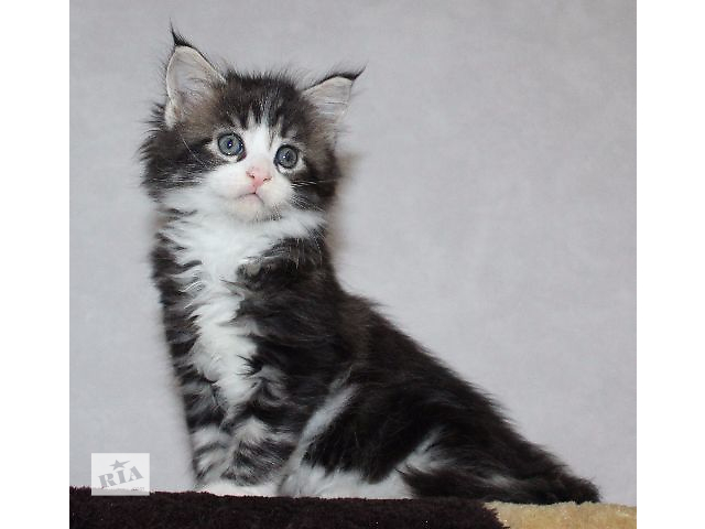 Питомник  Kingcoons предлагает котят- объявление о продаже  в Киеве