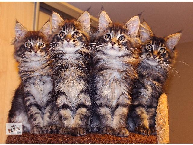 Питомник   предлагает котят- объявление о продаже  в Киеве