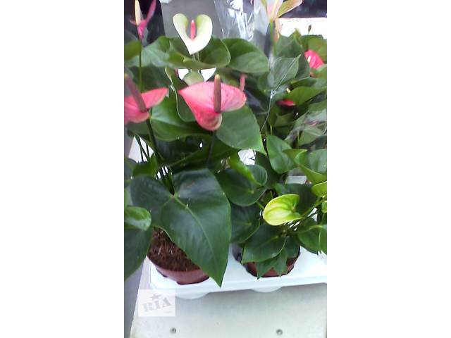 растения- объявление о продаже  в Амвросиевке