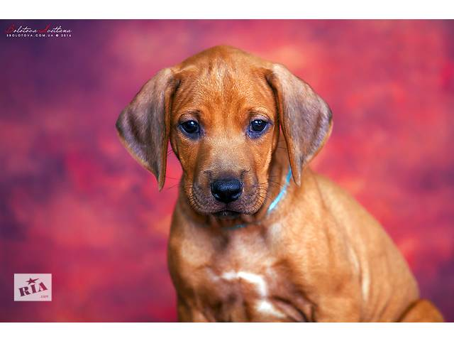 Родезийский риджбек щенок стандартный мальчик- объявление о продаже  в Харькове