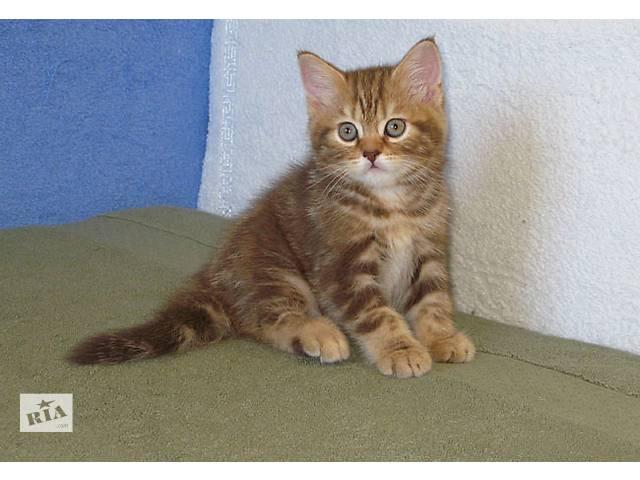 Роскошный Шоколадный мраморный котенок- объявление о продаже  в Киеве