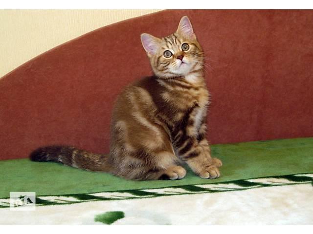 Роскошный Шоколадный мраморный котенок- объявление о продаже  в Днепре (Днепропетровск)