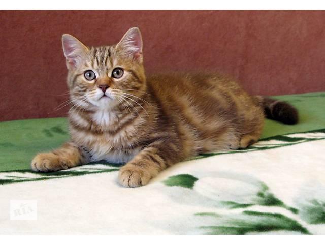 Роскошный Шоколадный мраморный котенок- объявление о продаже  в Харькове