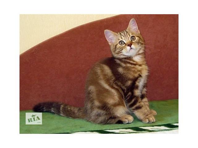 купить бу Роскошный Шоколадный мраморный котенок в Харькове