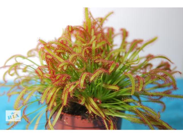 продам Росянка Капская – растение хищник, купить бу в Ужгороде