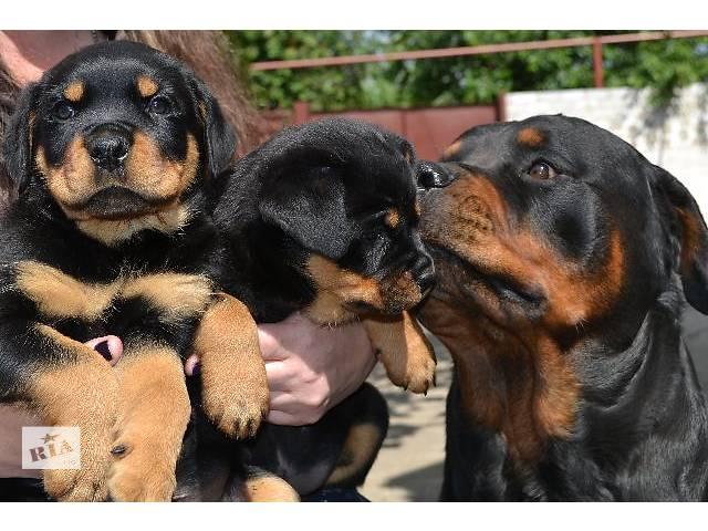 купить бу Ротвейлер, чистокровные щенки в Днепре (Днепропетровск)