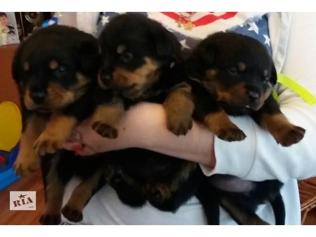Ротвейлер, чистокровные щенки- объявление о продаже  в Днепре (Днепропетровске)