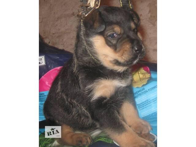 Продажа собак, щенков ротвейлер в дніпропетровську і області