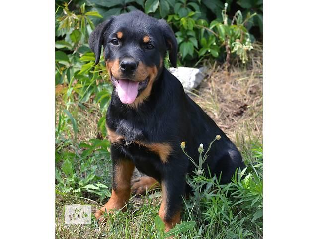 купить бу Ротвейлеров питомник предлагает замечательного щенка в Днепре (Днепропетровске)